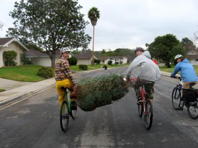 Leave the car at home, it's more fun - Christmas tree transport by bike