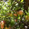 Apples in a tree at Calico Ranch, Wynola